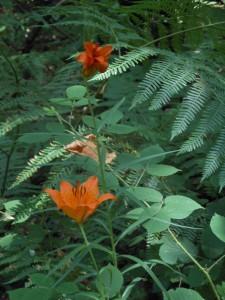 Il giglio arancione nel bosco