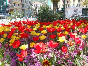 fioritura di tulipani